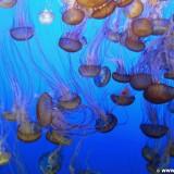 Monterey. - Westküste, Bay Aquarium, Quallen, Monterey - (New Monterey, Monterey, California, Vereinigte Staaten)