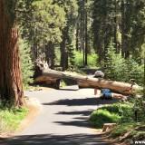 Sequoia National Park. - Sequoia Nationalpark, Mammutbaum, Baum, Mammutbäume, Baumstamm, Tunnel Log - (Pinewood, Sequoia National Park, California, Vereinigte Staaten)