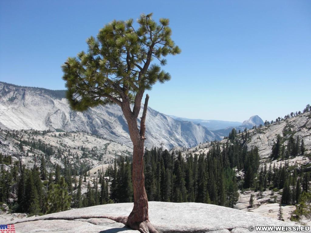 Yosemite National Park. - Baum, Yosemite Nationalpark, Aussichtspunkt, Tioga Pass, Olmsted Point - (Curry Village, Yosemite National Park, California, Vereinigte Staaten)