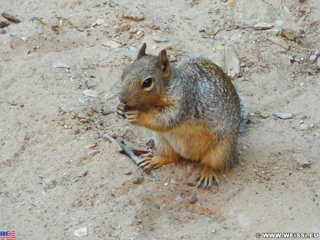 Zion National Park. - Squirrel, Tiere, Zion National Park, Temple of Sinawava - (Zion Lodge, Virgin, Utah, Vereinigte Staaten)