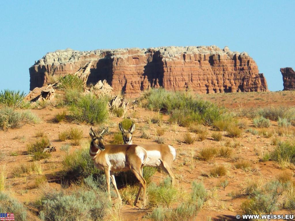 Goblin Valley State Park. - Landschaft, Tiere, State Park, Goblin Valley, Antelope, Gabelbock, Bock - (Hanksville, Green River, Utah, Vereinigte Staaten)