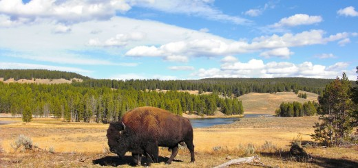 Yellowstone-Nationalpark. Yellowstone Buffalo im Hayden Valley - Yellowstone-Nationalpark. - Tiere, Bison, Büffel, Bisons, Yellowstone River, Hayden Valley, Yellowstone Buffalo - (Lake, Yellowstone National Park, Wyoming, Vereinigte Staaten)