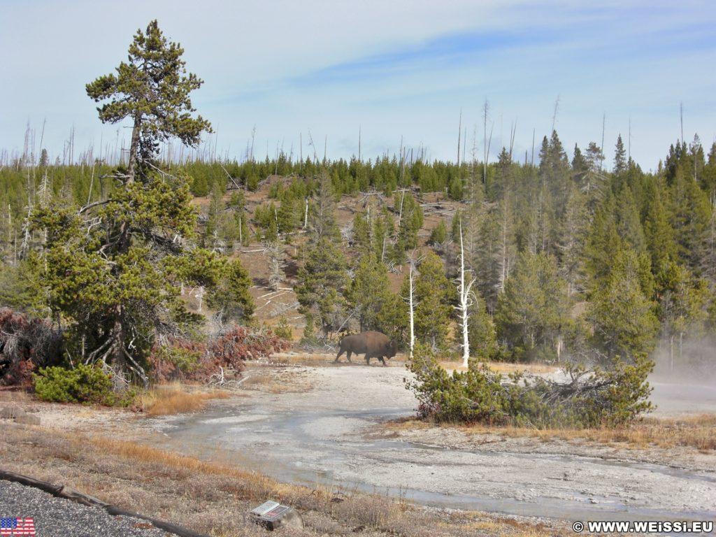 Yellowstone-Nationalpark. Buffalo in der Nähe des Grotto Geyser in der Old Faithful Area - Upper Geyser Basin North Section. - Tiere, Bison, Büffel, Old Faithful Area, Upper Geyser Basin North Section, Buffalo - (Three River Junction, Yellowstone National Park, Wyoming, Vereinigte Staaten)